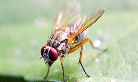 Fruchtfliege: Vorbild für das menschliche Abwehrsystem?