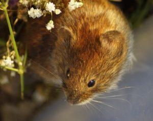 Karies-Kur bei Mäusen